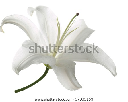 Flower white lily on a white  background