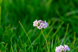 Flower white pink - Cardamine pratensis (cuckooflower, lady's smock, mayflower, or milkmaids) is a flowering plant in the family Brassicaceae