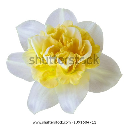 Flower white-yellow  narcissus on a white isolated background with clipping path  no shadows.  Closeup  For design.  Nature.