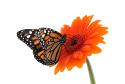 Flower with beautiful monarch butterfly isolated on white