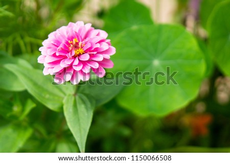 Flower with many pink petals and green leaves with vibrant colors and soft focus background #1150066508