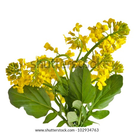 Flower Yellow Rocket or Barbarea vulgaris plant (Cruciferae , Brassicaceae ) close up, isolated on white