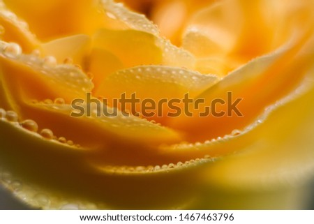Flower yellow rose petal macro close up picture, floral background