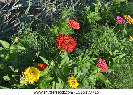 Flower. Zinnia, a genus of annual and perennial grasses and dwarf shrubs of the Asteraceae family. Red flowers