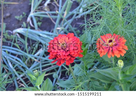 Flower Zinnia. Gardening. Home garden, bed. Zinnia, a genus of annual and perennial grasses and dwarf shrubs of the Asteraceae family. Red flowers