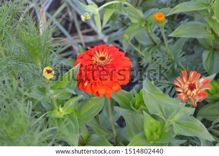 Flower Zinnia. Gardening. Home garden, flower bed. House, field, farm. Zinnia, a genus of annual and perennial grasses and dwarf shrubs of the Asteraceae family. Red flowers