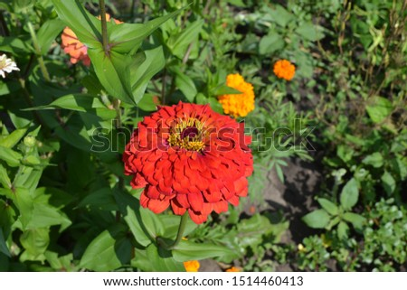 Flower Zinnia. Gardening. Home garden. Zinnia, a genus of annual and perennial grasses and dwarf shrubs of the Asteraceae family. Red flowers