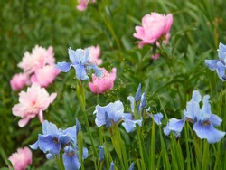 flowerbed of blue irises and pink peonies in the garden