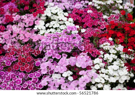Flowerbed of Dianthus barbatus (Sweet William)