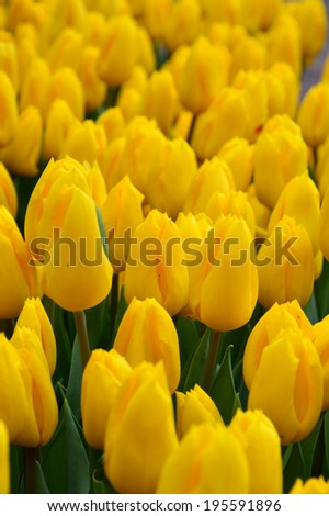 flowerbed with bright flowers tulips - Shutterstock ID 195591896