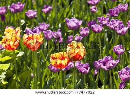 Flowerbed with many tulips of mixed red and yellow colour and purple colour.