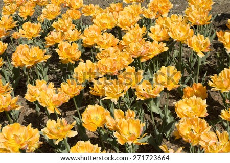 Flowerbed with many tulips of orange colour.