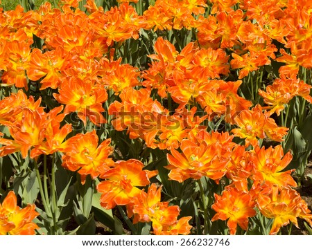 Flowerbed with many tulips of orange colour with yellow middle.