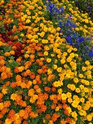 Flowerbed with marigolds motley flowers yellow, orange, blue.