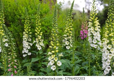 Flowerbed with Viburnum plicatum Summer Snowflake and Digitalis purpurea Alba Foxglove Stock fotó ©