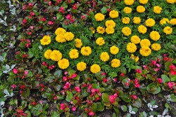 Flowerbed with yellow and pink flowers (zinnia elegans or common zinnia)