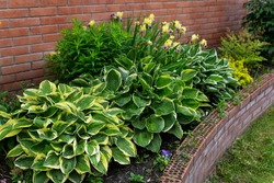 Flowerbeds with hosts, irises and other perennial plants. Landscaping.