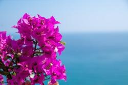 flowered Bougainvillea, Ligurian coast, Italy
