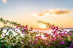 Flowerful big purple bougainvillea plant tree in the greek at sundown sunset in a mediterranean village balcony, Kos Island, Dodecanese, Greece