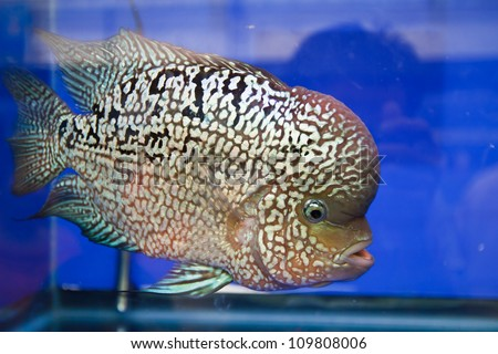 Cichlid Fish Center Flowerhorn Cichlid Fish in The