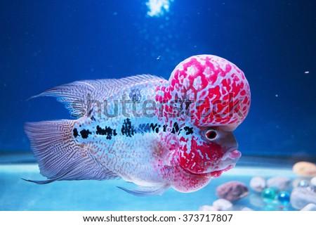 Flowerhorn Fish Aquarium Fish Flower horn Fish Flowerhorn Cichlid Fish