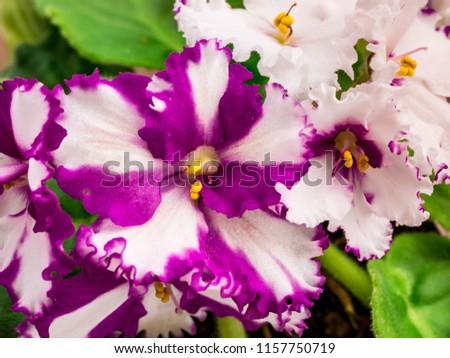 Flowering African violet (Saintpaulia) - closeup look at rare patterns on petals. Selective focus. #1157750719