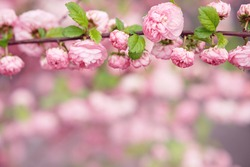 Flowering almond. Branch with pink flowers. Springtime