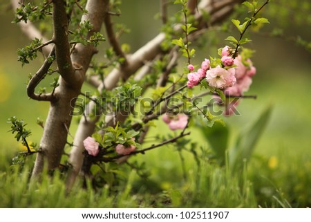 Flowering Almond (Prunus Triloba) Closeup