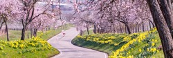 Flowering almond trees and daffodils along the road. Almond blossoms near the road. Deutsche Weinstrasse ( German Wine Route ), Rhineland-Palatinate, Germany, banner