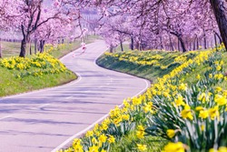 Flowering almond trees and daffodils along the road. Almond flowers in Southern Wine Route, Rhineland-Palatinate, Germany.