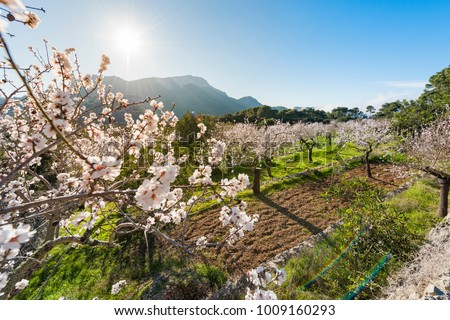 Flowering almond trees in the countryside of Mallorca. Spain