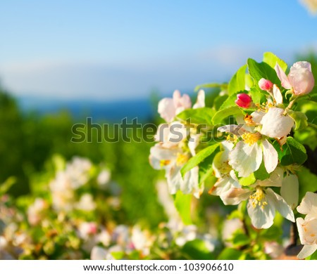 flowering apple tree in mountain