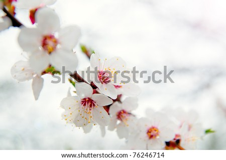 Flowering apricot.  background