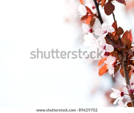 Flowering apricot tree. Spring background