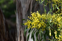 Flowering Australian Golden Wattle tree or Acacia Pycnantha with tiny yellow flowers and softly blurred natural vegetation background at the popular Wittunga Botanic Gardens South Australia Australia
