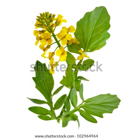 Flowering Barbarea vulgaris or Yellow Rocket plant (Cruciferae , Brassicaceae ) close up isolated