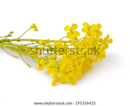 Flowering Barbarea vulgaris or Yellow Rocket plant (Cruciferae , Brassicaceae ) close up isolated  #195336425