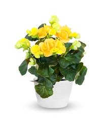 flowering Begonia a potted plant isolated over white