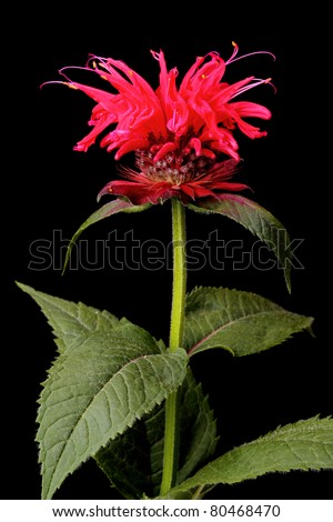 Flowering bergamot mint isolated on black background