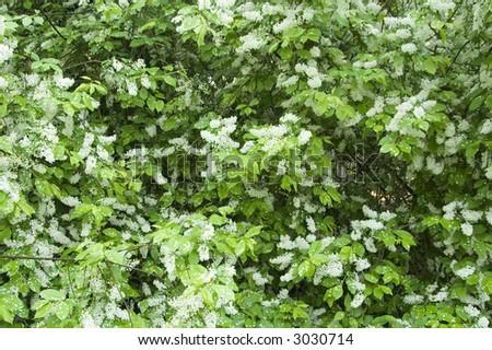 Flowering Bird Cherry (Prunus padus) small deciduous tree,springtime,