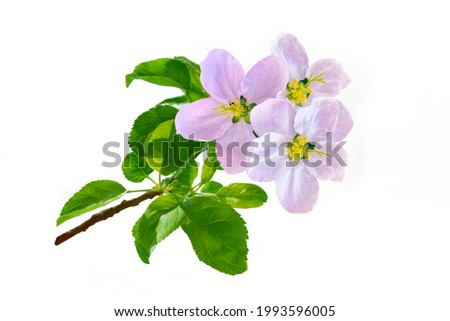 Flowering branch of Apple tree isolated on a white background. nature