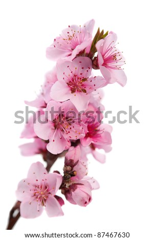 Flowering branch of peach. Isolated on white background