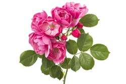 Flowering branch of pink wild rose flowers isolated on white