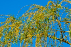 Flowering branches of a weeping willow with young leaves, salix babylonica, in early spring, on a warm sunny day against a blue sky