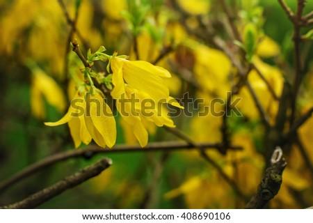 Flowering bush in the spring yellow flowers on green ez canvas flowering bush in the spring yellow flowers on green mightylinksfo