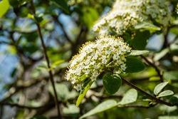 Flowering bush of leatherleaf viburnum (Viburnum rhytidophyllum Alleghany)  on green blurred background. White flowers in inflorescences on branches. Selective focus. Nature concept for natural design