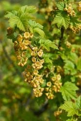 flowering bush of red currant with green leaves in the garden. Ribes rubrum. Red currant bush. Flowers red currant. Red currant in spring, branches currants.