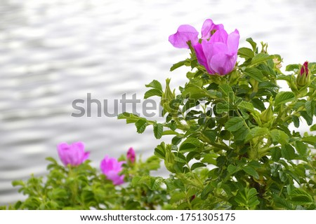 Flowering bush of rose hip (also called rose haw and rose hep) near water Stock photo ©