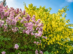 Flowering bushes lilac and Laburnum tree (Laburnum anagyroides) against the blue sky in spring, nature background