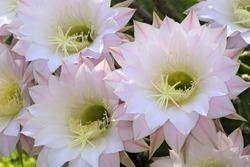 Flowering Cactus, Echinopsis eyriesii hybrida